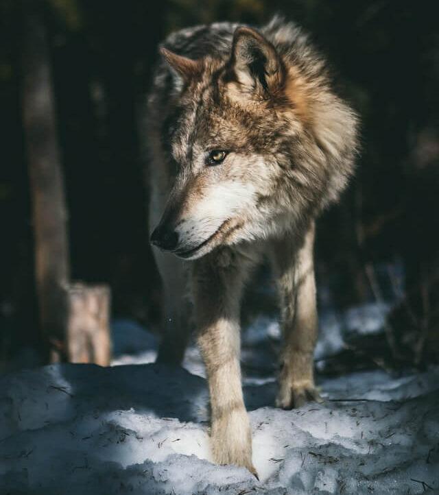 il lupo in natura